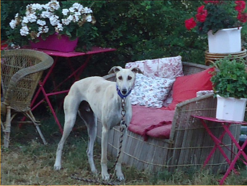 CANELITO, galgo beige, 2 ans  Adopté  Caneli10