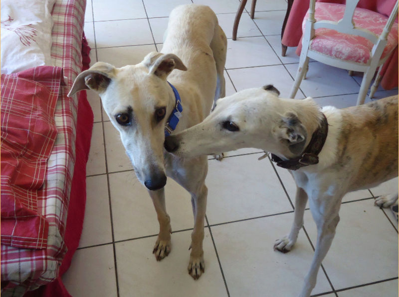 CANELITO, galgo beige, 2 ans  Adopté  Caneli14