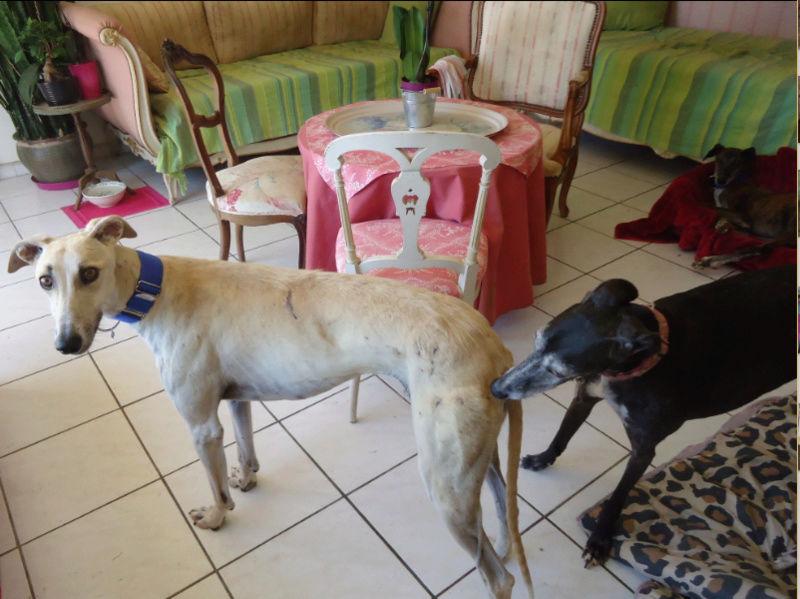CANELITO, galgo beige, 2 ans  Adopté  Caneli15