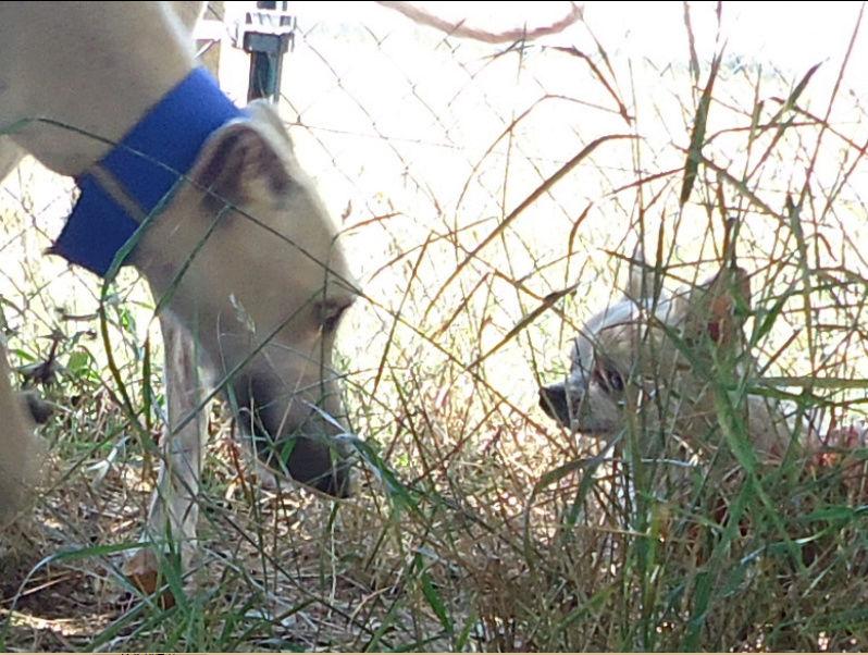 CANELITO, galgo beige, 2 ans  Adopté  Caneli18