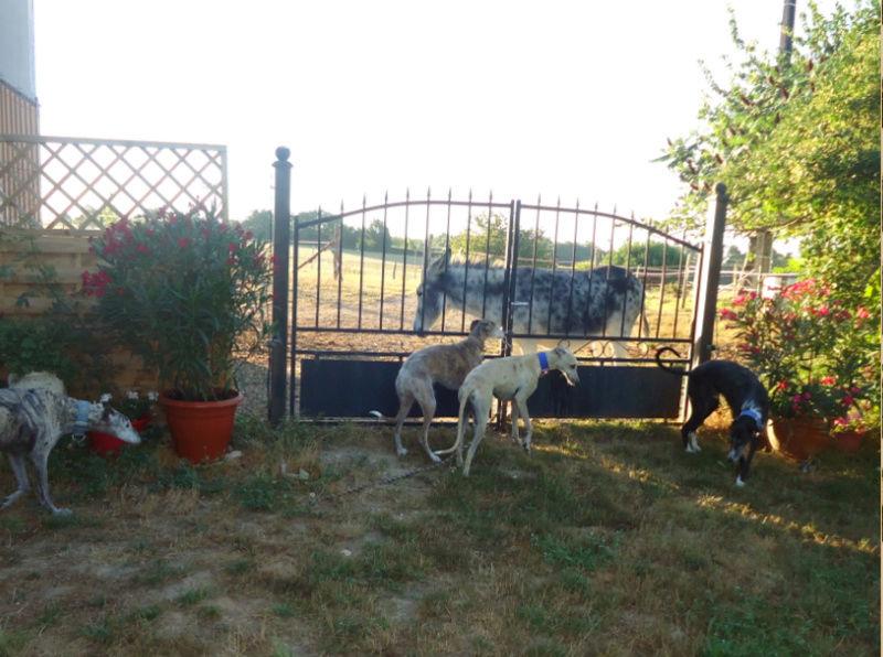 CANELITO, galgo beige, 2 ans  Adopté  Caneli21
