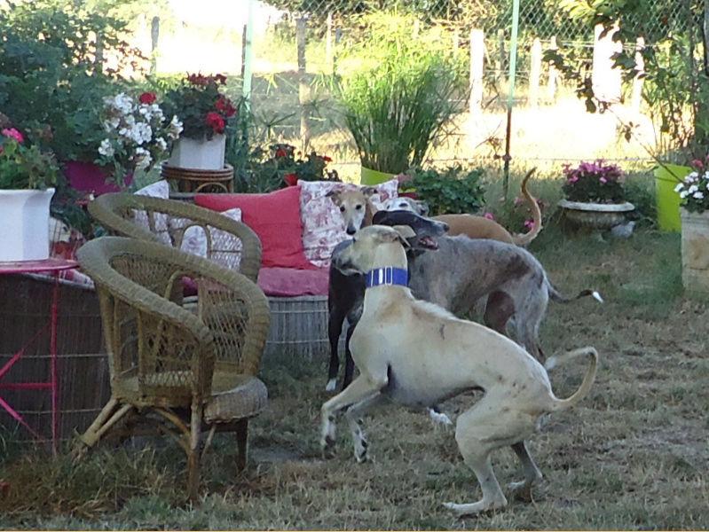 CANELITO, galgo beige, 2 ans  Adopté  Caneli24