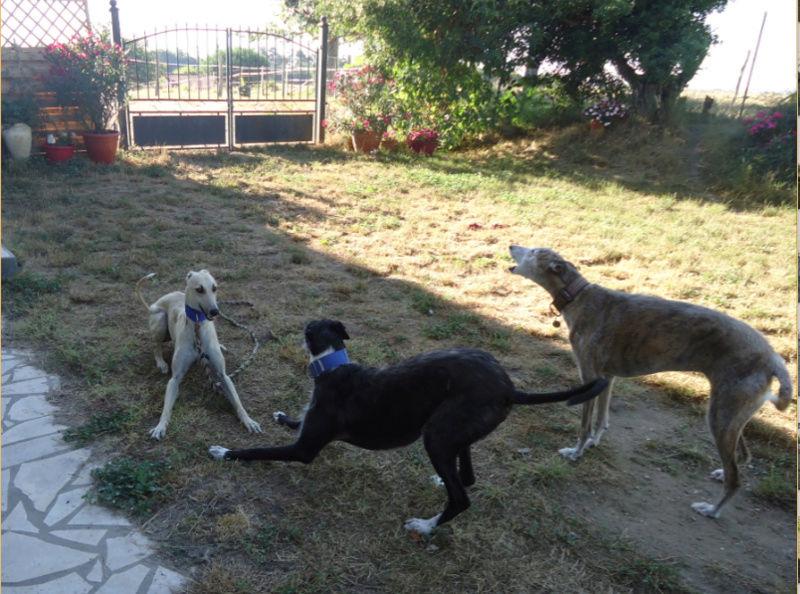 CANELITO, galgo beige, 2 ans  Adopté  Caneli25