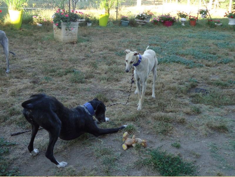 CANELITO, galgo beige, 2 ans  Adopté  Caneli27