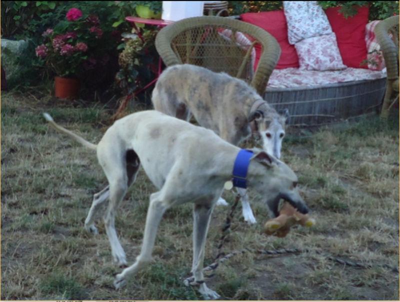 CANELITO, galgo beige, 2 ans  Adopté  Caneli28