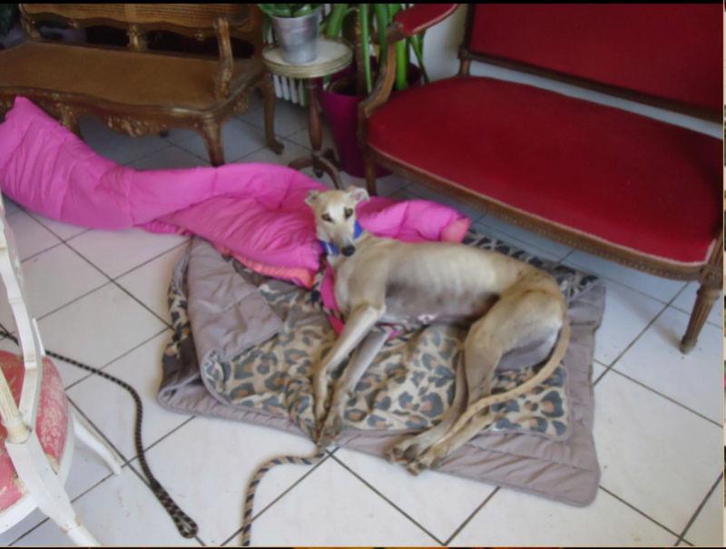 CANELITO, galgo beige, 2 ans  Adopté  Caneli31