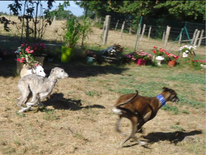 Ely galga née en 2012 Scooby France Adoptée  - Page 3 Ely1011