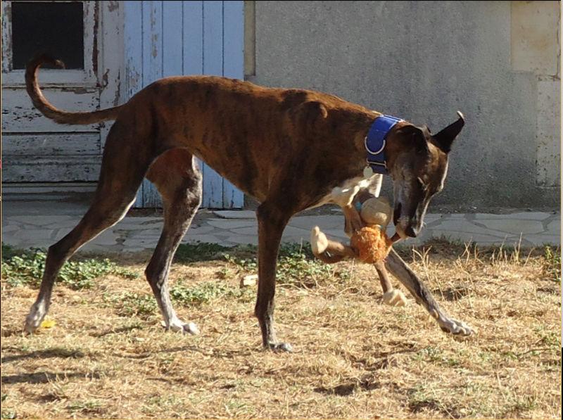 Ely galga née en 2012 Scooby France Adoptée  - Page 3 Ely3810