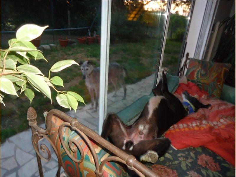 JONATHAN, merveilleux galgo barbu Scooby France  Adopté  - Page 3 Jonath11