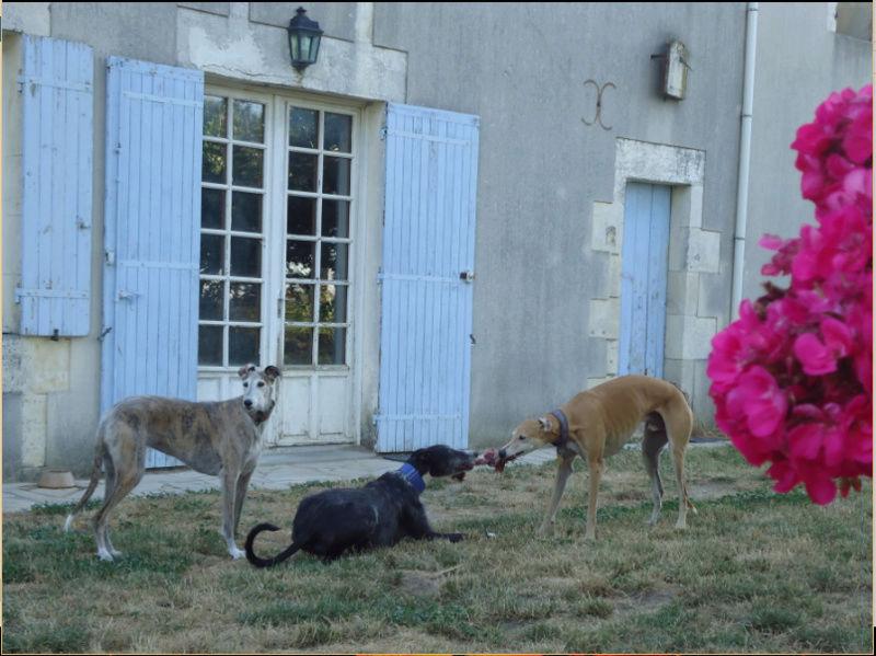 JONATHAN, merveilleux galgo barbu Scooby France  Adopté  - Page 5 Jonath49