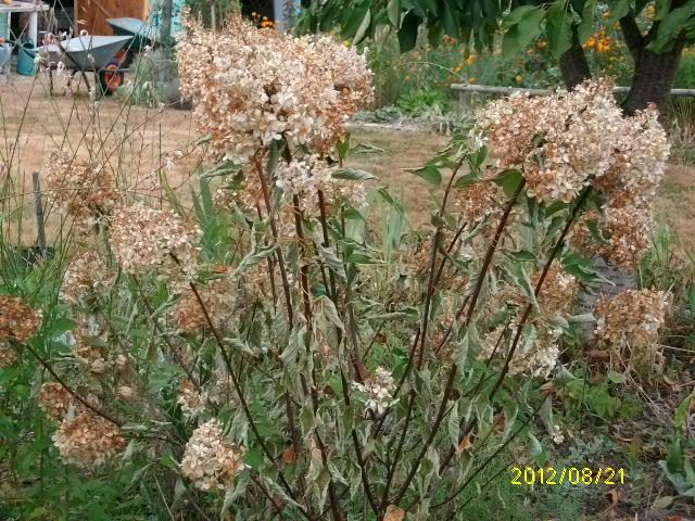HYDRANGEA paniculata - Page 3 Aout_080