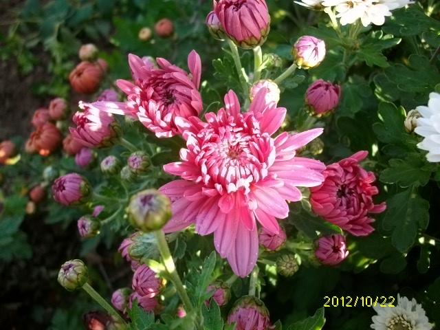 Chrysanthèmes  Octobr42