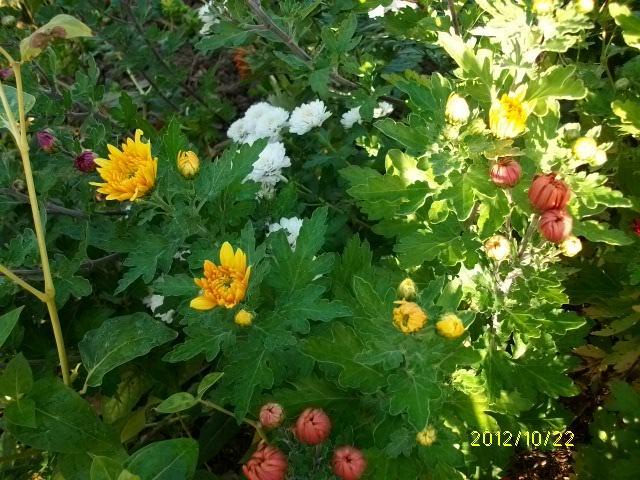 Chrysanthèmes  Octobr43