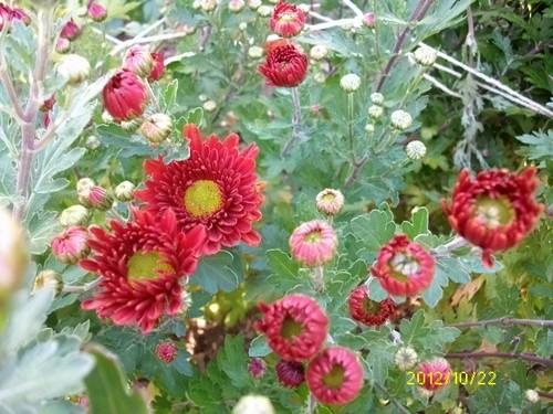 Chrysanthèmes  Octobr44