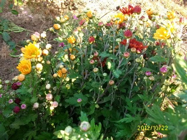 Chrysanthèmes  Octobr45