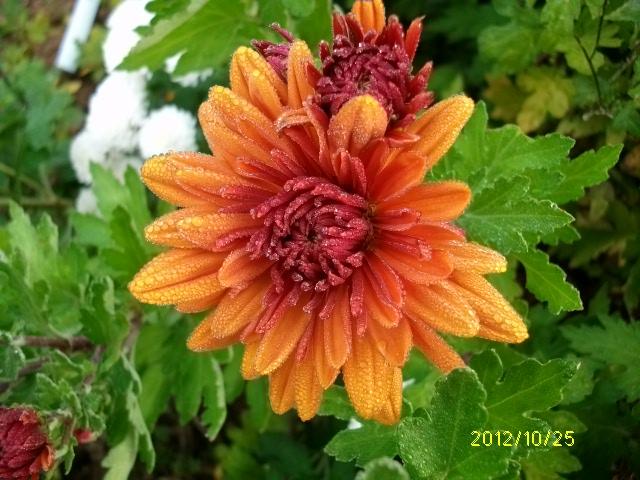 Chrysanthèmes  - Page 2 Octobr52