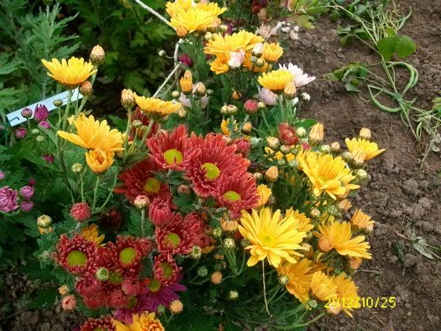 Chrysanthèmes  - Page 2 Octobr54