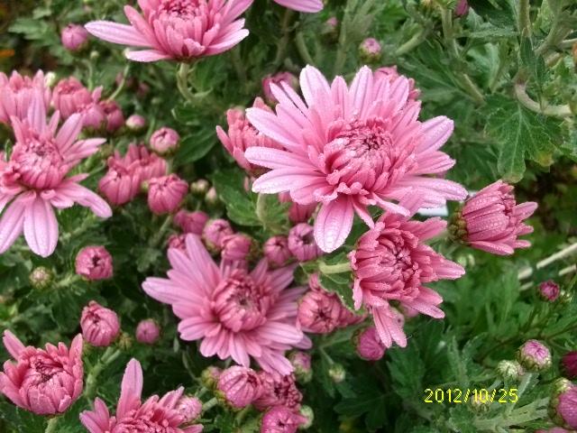 Chrysanthèmes  - Page 2 Octobr55