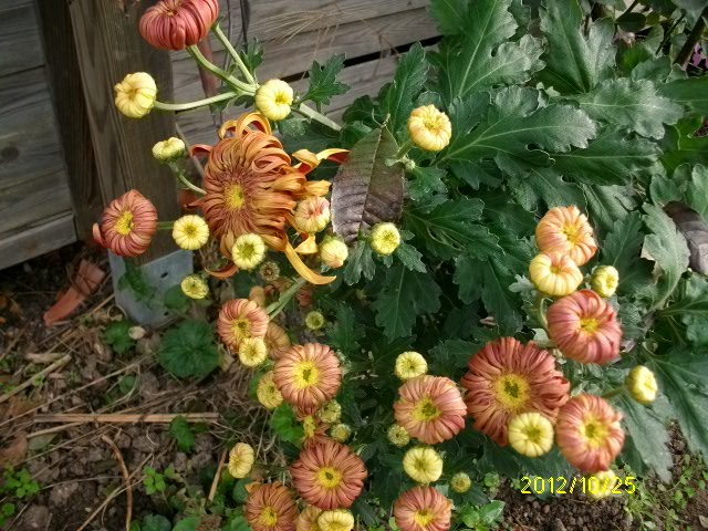Chrysanthèmes  - Page 2 Octobr56
