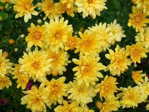 Chrysanthème Septem11