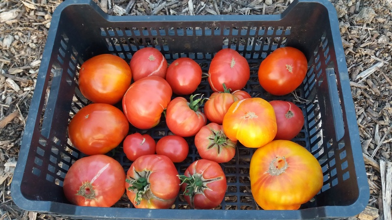 Tomates - Page 37 20160877