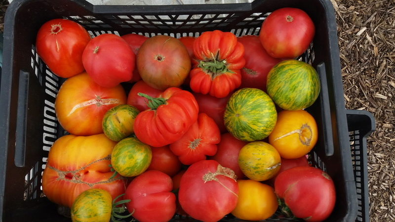 Tomates - Page 37 20160880