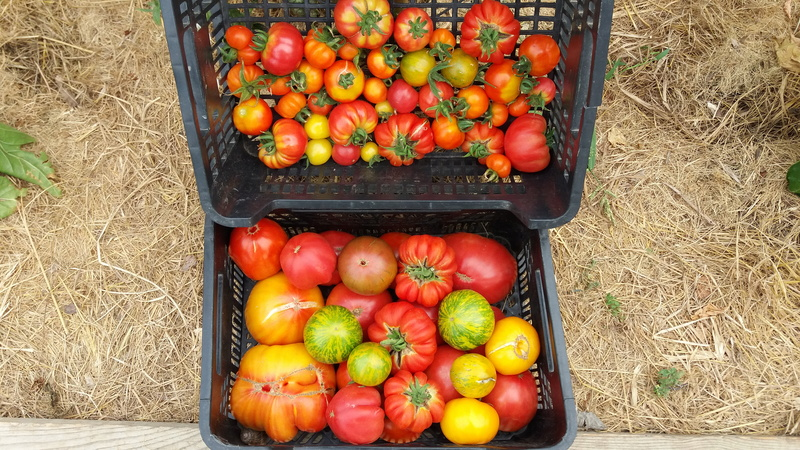 Tomates - Page 37 20160881