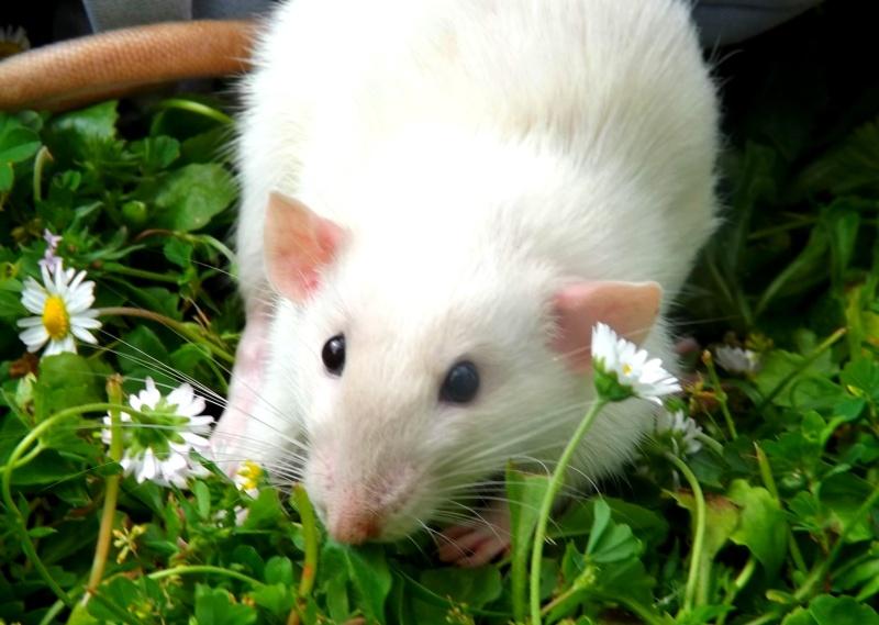 [cherche]rats siam/BES pour continuer projet Dscf8210