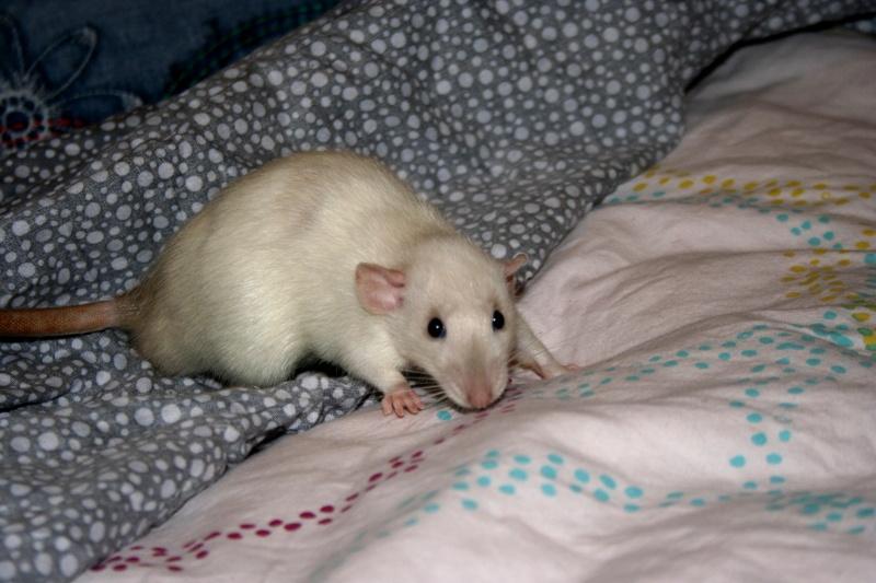 [cherche]rats siam/BES pour continuer projet Img_5910