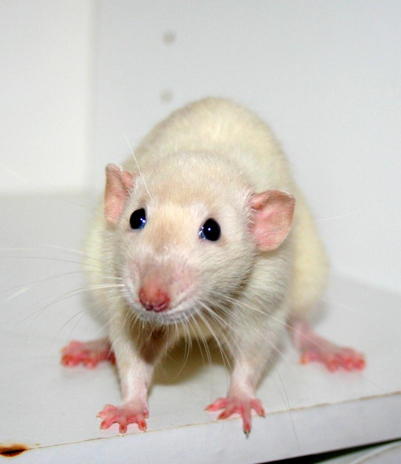 [cherche]rats siam/BES pour continuer projet Img_6910