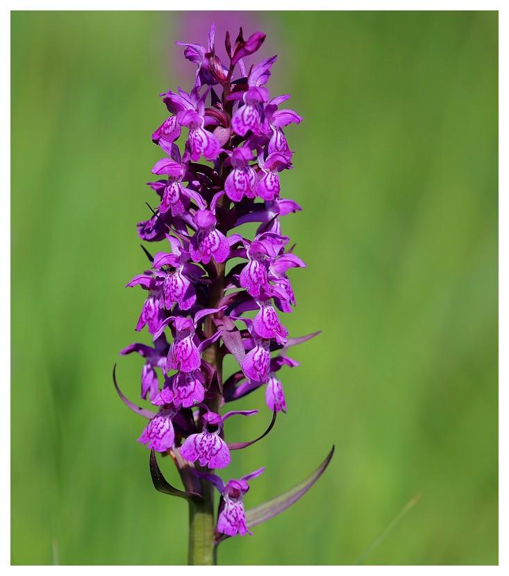 Orchidée sauvage Orchis10