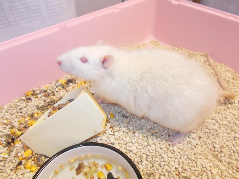 SAUVETAGE 2 rats d'animalerie (toujours en magasin, risque de mort) Dscn0110