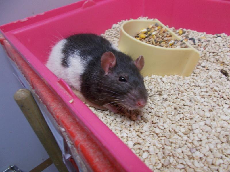 SAUVETAGE 2 rats d'animalerie (toujours en magasin, risque de mort) Dscn0111