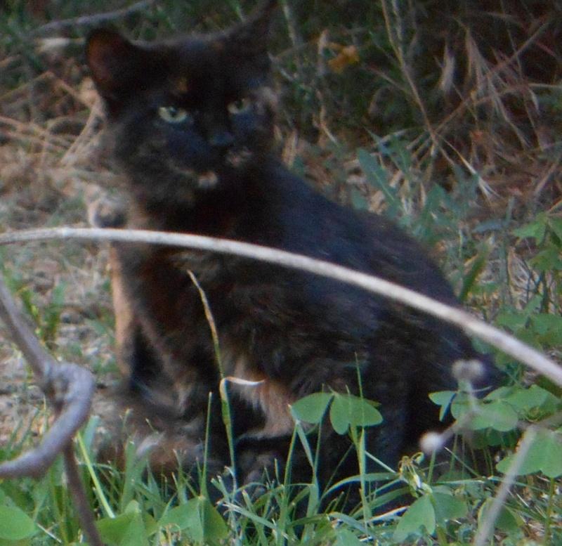 Perdue chatte écaille de tortue, allée de la fontaine à Colomiers Dscn3818