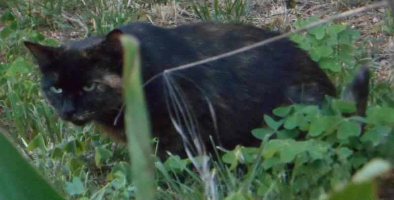 Perdue chatte écaille de tortue, allée de la fontaine à Colomiers Dscn3819