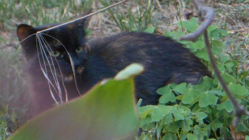 Perdue chatte écaille de tortue, allée de la fontaine à Colomiers Dscn3910