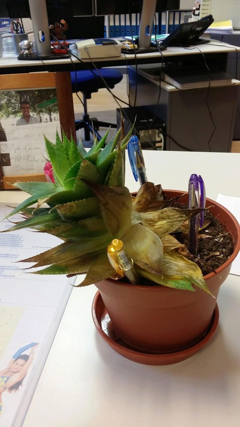 """Cactus""... en fin de vie ? Besoin d'aide svp ! 20160814"