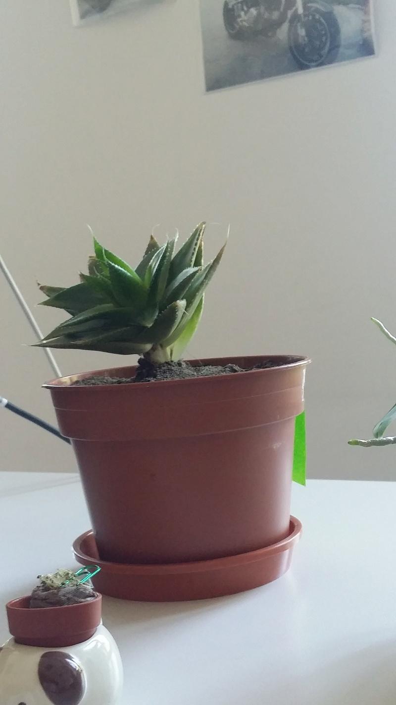 """Cactus""... en fin de vie ? Besoin d'aide svp ! 20160821"