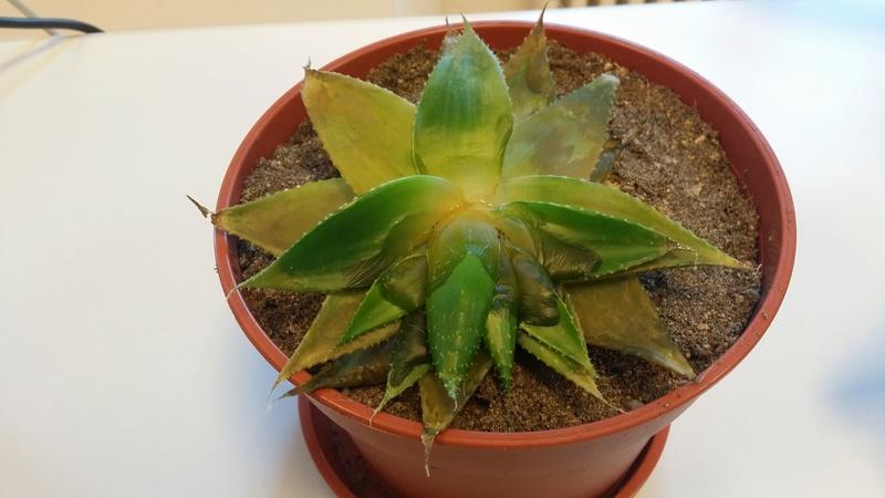 """Cactus""... en fin de vie ? Besoin d'aide svp ! 20160825"