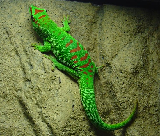 Les animaux - Page 3 Gecko_10