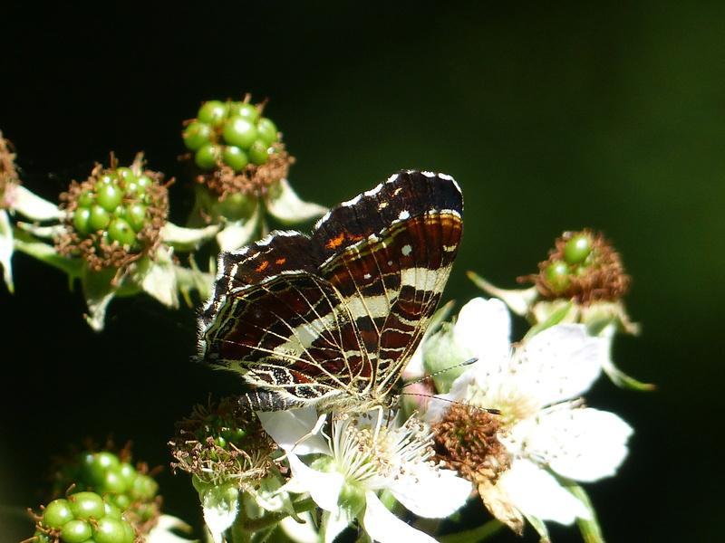 Araschnia levana P1100610