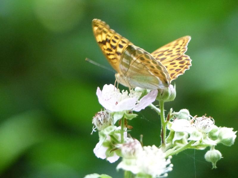 Argynnis paphia P1100913