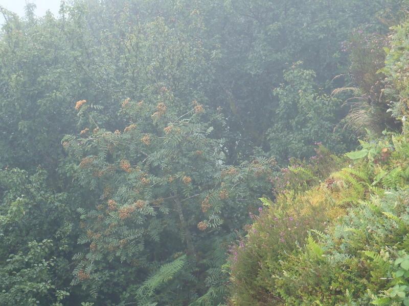 Sorbus aucuparia et Pyrus pyraster P7270112