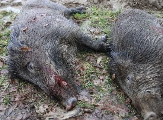 Alsace Les préfets mettent la pression sur les sangliers et… les chasseurs  20-00010