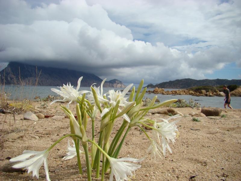 Flore de SARDAIGNE Dsc06139