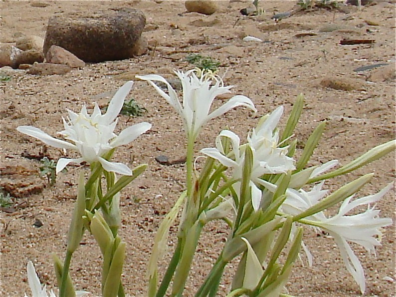 Flore de SARDAIGNE Dsc06141