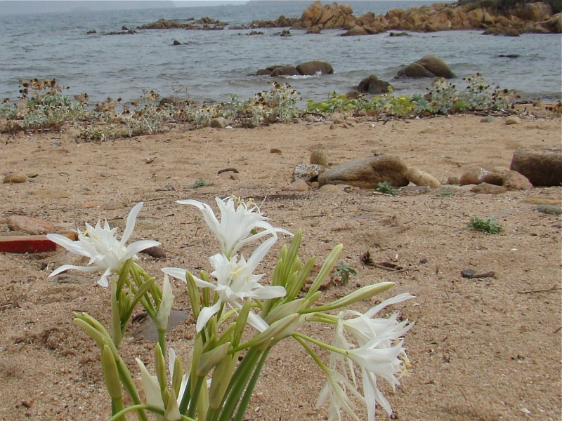 Flore de SARDAIGNE Dsc06142