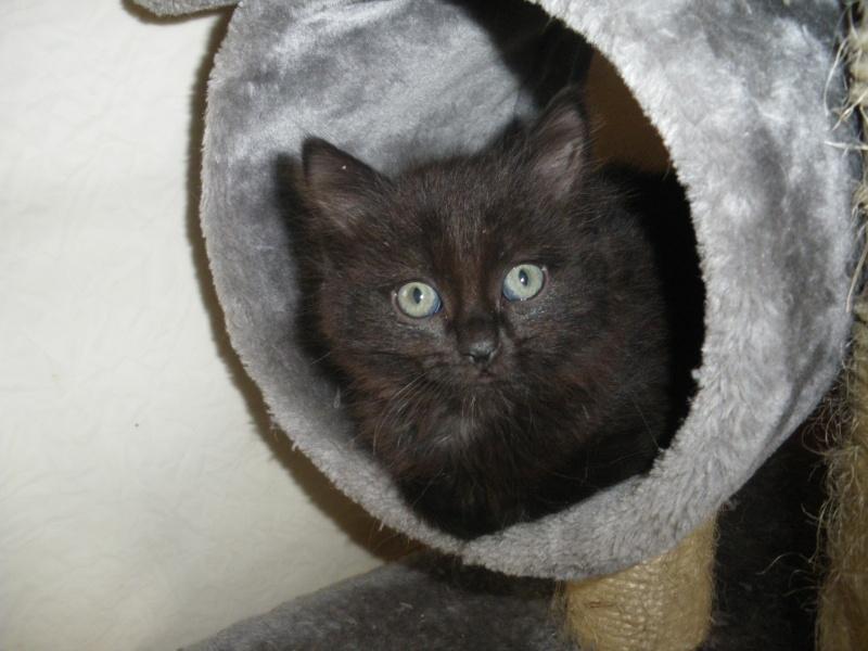 DOMINO (chaton mâle poils mi long) Imgp0317