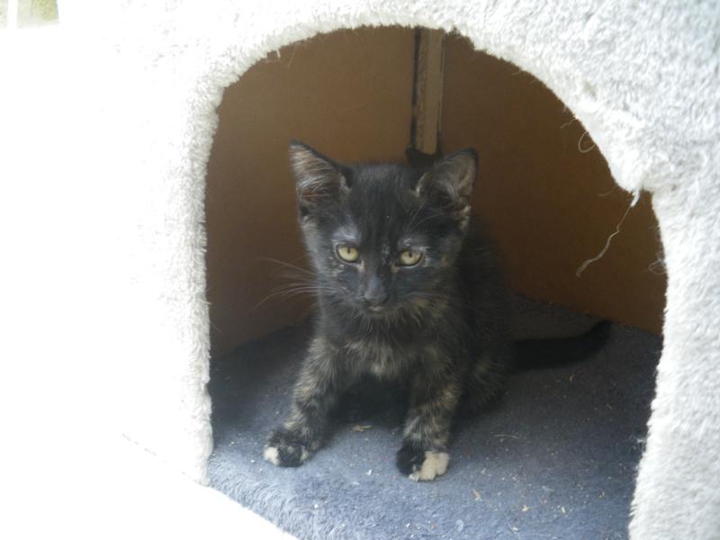 KALIE (chaton femelle écaille de tortue) Imgp0416