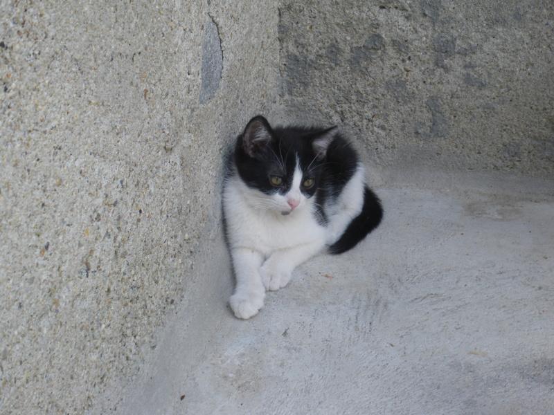 KAHAN (chaton noir et blanc) Imgp0417